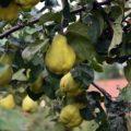 """Fruchtfolge """"Höfe-Tour"""", Baum mit reifen Birnenquitten"""