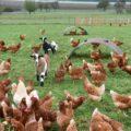 """Fruchtfolge """"Höfe-Tour"""", zwei Ziegen zwischen Hühner auf der Weide"""